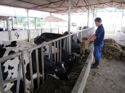 Nguyễn Văn Quang trở thành tỷ phú trẻ nhờ nuôi bò sữa