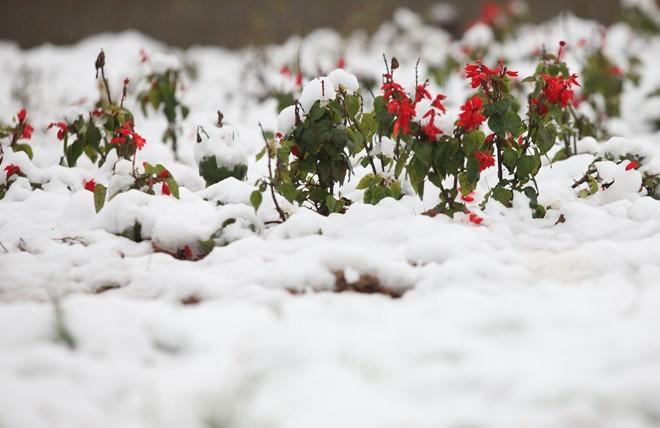 Tuyết trắng tinh giữa những hàng hoa đỏ rực rỡ             Bài viết: http://news.zing.vn/Khach-du-lich-do-xo-len-Sa-Pa-trong-tuyet-trang-post377656.html#home_featured.noibat             Nguồn Zing News