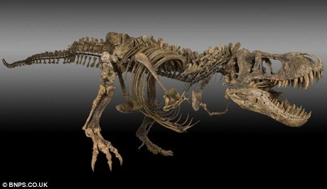 Bộ xương của con khủng long T-rex rất hiếm, cả thế giới chỉ có 20 bộ từng được tìm thấy, trong đó tính cả bộ vừa mới được đào lên này. Bộ xương mới được tìm thấy còn khoảng 40% số xương hoàn chỉnh của một con T-rex trưởng thành