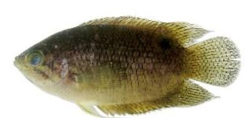 Phát hiện 12 loài cá nước ngọt mới ở Việt Nam - ảnh 7
