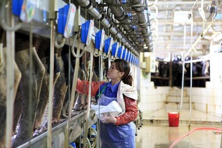 Thực hiện quy trình vắt sữa