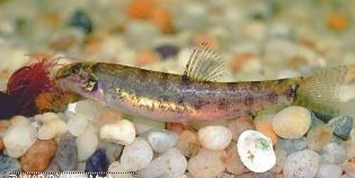 Phát hiện 12 loài cá nước ngọt mới ở Việt Nam - ảnh 2