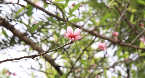 Ngắm hoa đào nở từ tháng 9 - ảnh 5