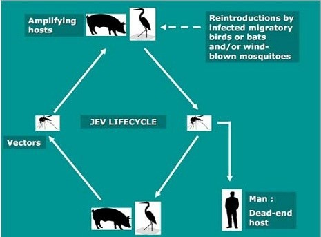 Chim, lợn và muỗi: Nguyên nhân chính gây bệnh viêm não Nhật Bản - ảnh 1