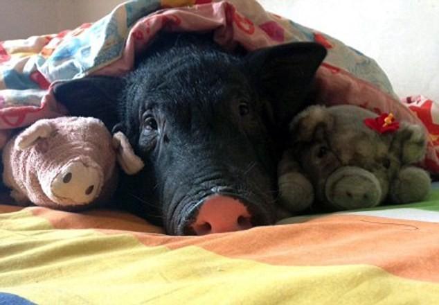 Chồng ghen tỵ vì cô gái suốt ngày ăn ngủ với lợn cưng - ảnh 2