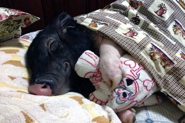 Chồng ghen tỵ vì cô gái suốt ngày ăn ngủ với lợn cưng - ảnh 3