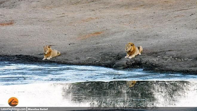 Chạy trốn sư tử, linh dương bị hà mã dìm chết - ảnh 1
