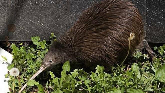 Khám phá thú vị ít người biết về loài chim Kiwi - ảnh 1