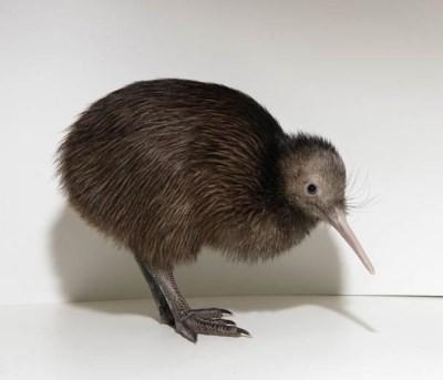 Khám phá thú vị ít người biết về loài chim Kiwi - ảnh 5