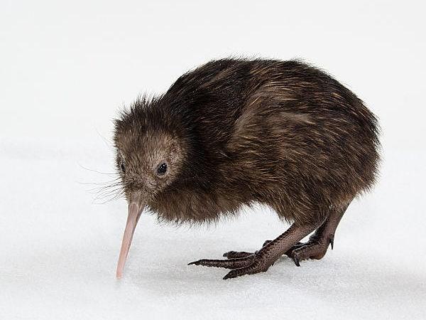 Khám phá thú vị ít người biết về loài chim Kiwi - ảnh 6