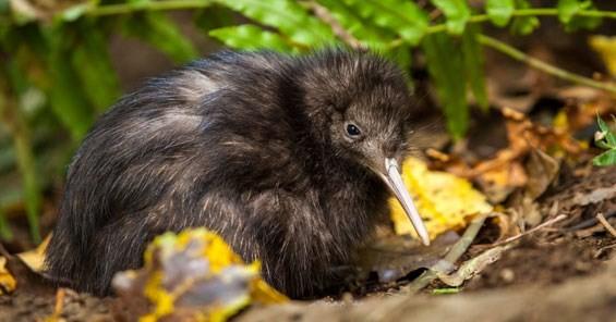 Khám phá thú vị ít người biết về loài chim Kiwi - ảnh 8