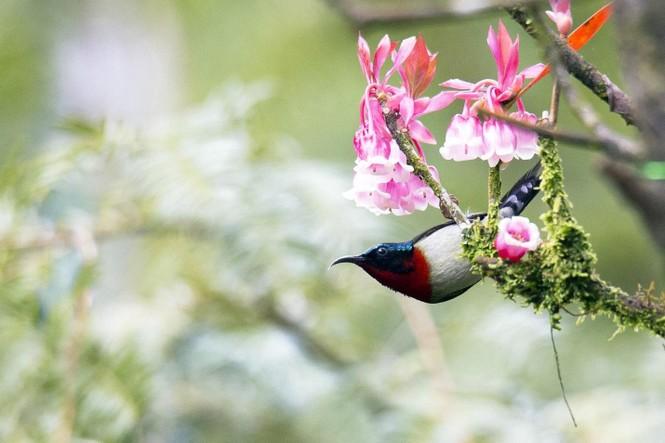 Ngẩn ngơ chiêm ngưỡng loài hoa đào chuông quý hiếm trên đỉnh Bà Nà - ảnh 2