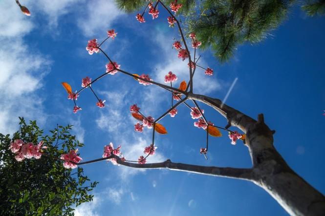 Ngẩn ngơ chiêm ngưỡng loài hoa đào chuông quý hiếm trên đỉnh Bà Nà - ảnh 4