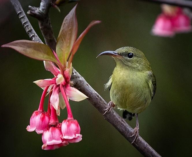 Ngẩn ngơ chiêm ngưỡng loài hoa đào chuông quý hiếm trên đỉnh Bà Nà - ảnh 6