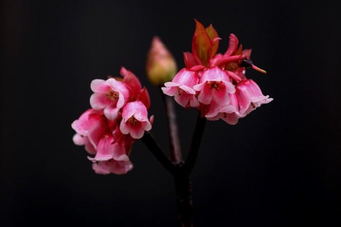 Ngẩn ngơ chiêm ngưỡng loài hoa đào chuông quý hiếm trên đỉnh Bà Nà - ảnh 7