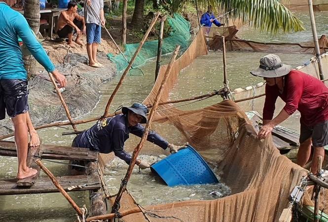 Giá cá tra tăng trở lại sau thời gian dài giảm sâu - ảnh 1