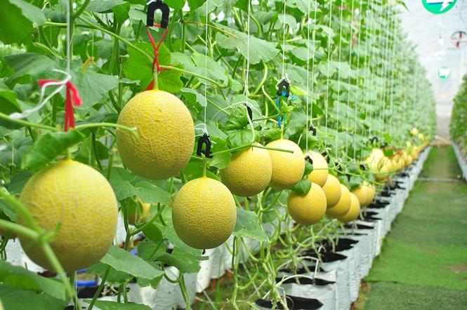 Mê mẩn vườn dưa lưới ở Cần Thơ thu hút đông bạn trẻ check-in dịp Tết - ảnh 10