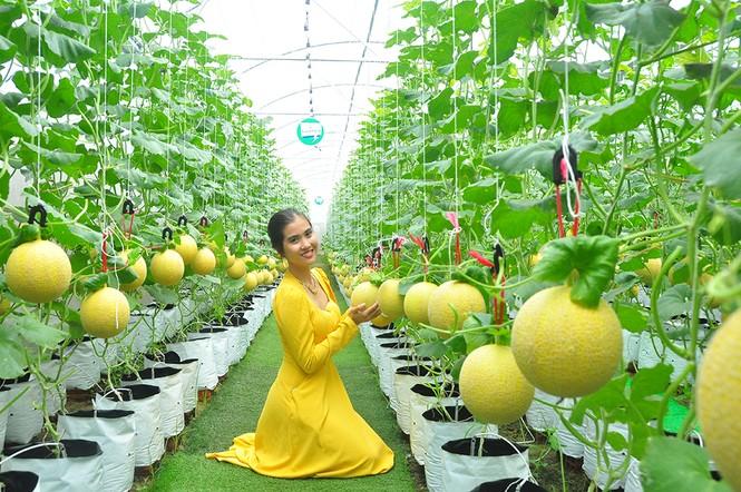 Mê mẩn vườn dưa lưới ở Cần Thơ thu hút đông bạn trẻ check-in dịp Tết - ảnh 1