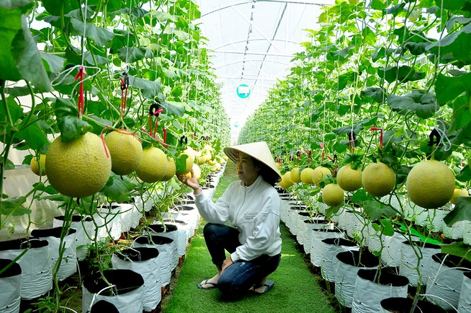 Mê mẩn vườn dưa lưới ở Cần Thơ thu hút đông bạn trẻ check-in dịp Tết - ảnh 6
