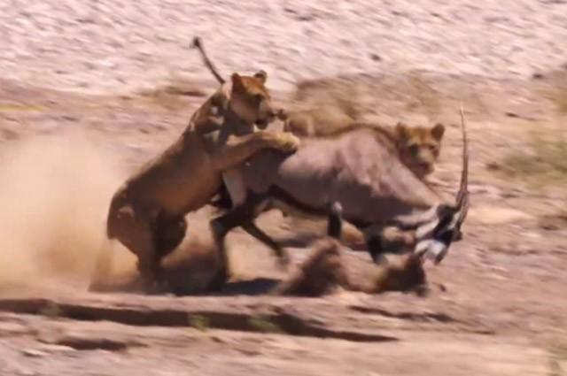 Clip: Bị sư tử tấn công, linh dương sừng kiếm vẫn thoát chết ngoạn mục - ảnh 1
