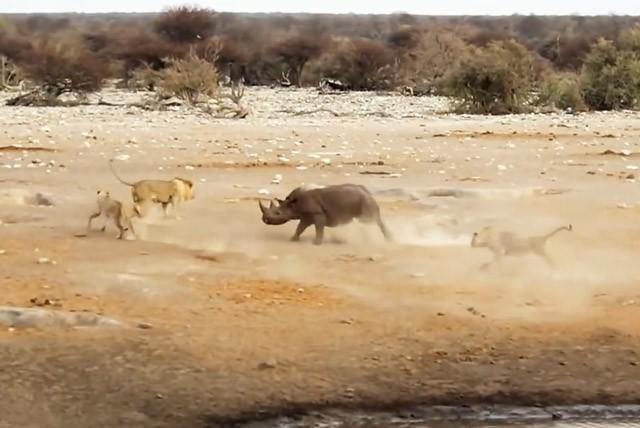 Màn giao chiến siêu kịch tính giữa tê giác với 3 con sư tử - ảnh 1