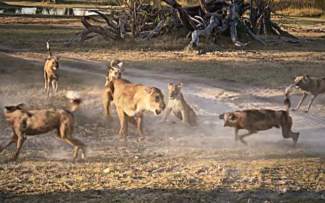 Sư tử cái tử chiến với đàn chó hoang để bảo vệ con - ảnh 1