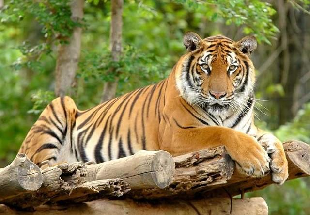 Số lượng hổ ở Ấn Độ tăng 33% trong vòng 5 năm qua - ảnh 1