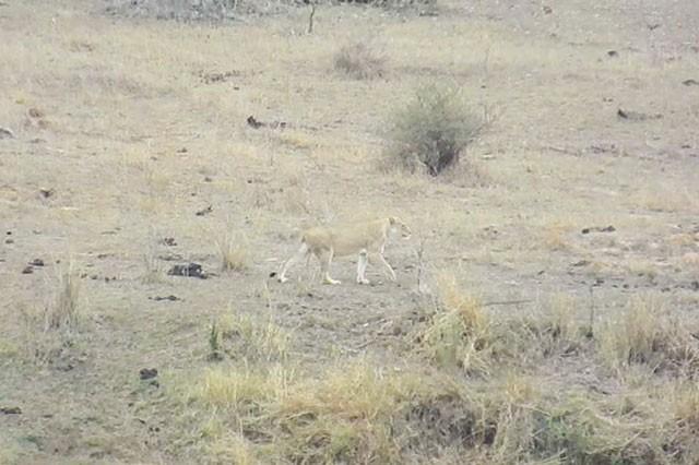 Chuyện lạ: Sư tử đực làm hành động 'đáng xấu hổ' giúp lợn bướu thoát chết ngoạn mục - ảnh 1