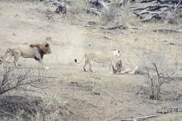 Chuyện lạ: Sư tử đực làm hành động 'đáng xấu hổ' giúp lợn bướu thoát chết ngoạn mục - ảnh 3