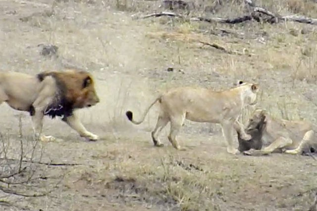 Chuyện lạ: Sư tử đực làm hành động 'đáng xấu hổ' giúp lợn bướu thoát chết ngoạn mục - ảnh 4