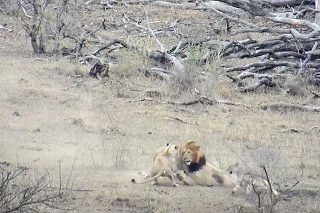 Chuyện lạ: Sư tử đực làm hành động 'đáng xấu hổ' giúp lợn bướu thoát chết ngoạn mục - ảnh 5