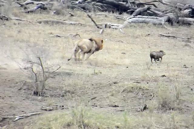 Chuyện lạ: Sư tử đực làm hành động 'đáng xấu hổ' giúp lợn bướu thoát chết ngoạn mục - ảnh 6