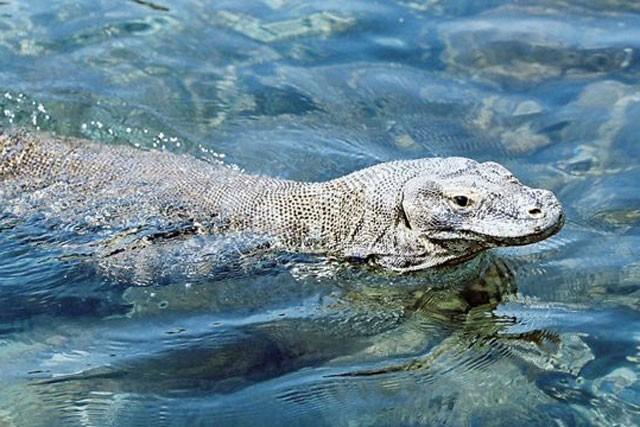 Top 10 sự thật đáng ngạc nhiên về rồng Komodo - ảnh 1