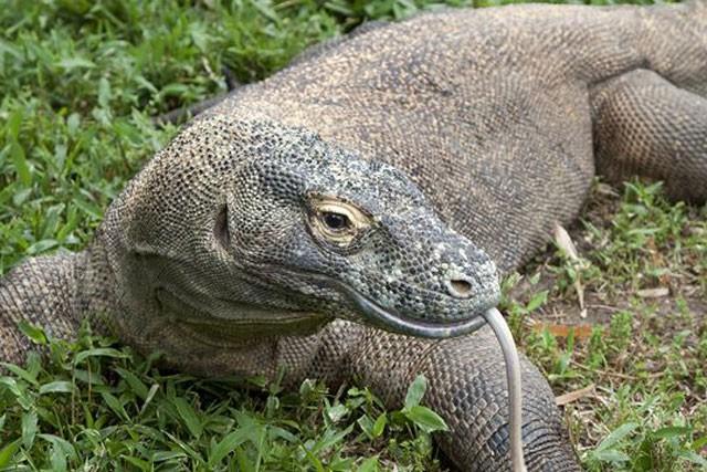 Top 10 sự thật đáng ngạc nhiên về rồng Komodo - ảnh 2