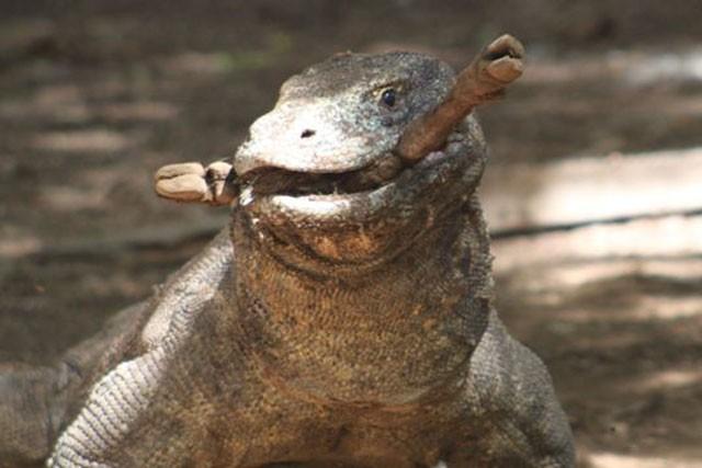 Top 10 sự thật đáng ngạc nhiên về rồng Komodo - ảnh 3