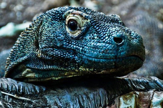 Top 10 sự thật đáng ngạc nhiên về rồng Komodo - ảnh 4