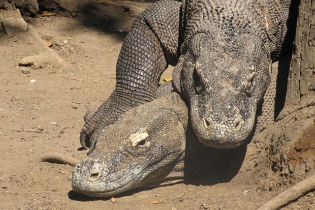 Top 10 sự thật đáng ngạc nhiên về rồng Komodo - ảnh 7