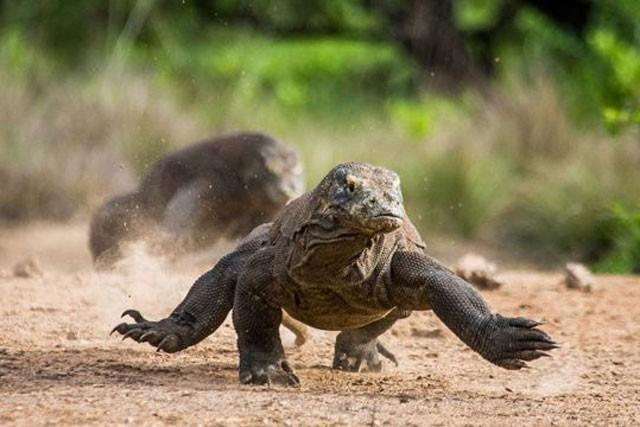 Top 10 sự thật đáng ngạc nhiên về rồng Komodo - ảnh 8
