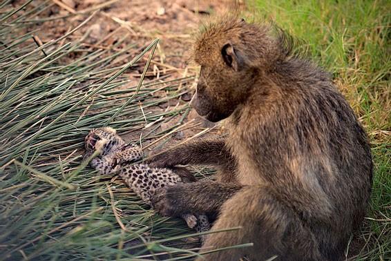Báo hoa mai con chết thảm khi rơi vào tay khỉ đầu chó 'hậu đậu' - ảnh 4