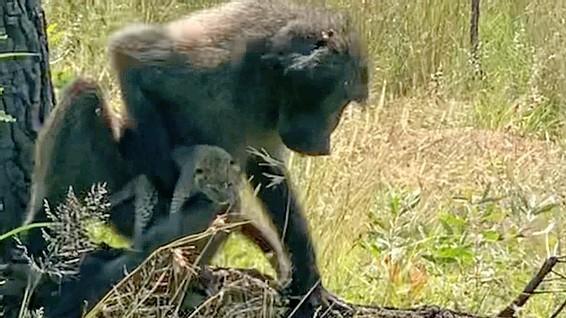 Báo hoa mai con chết thảm khi rơi vào tay khỉ đầu chó 'hậu đậu' - ảnh 5