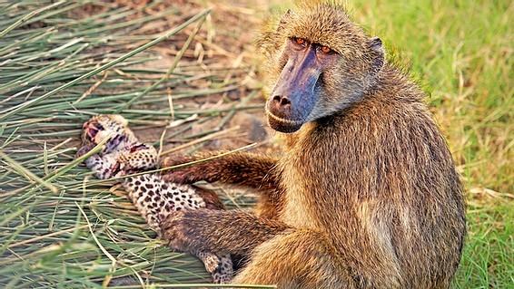 Báo hoa mai con chết thảm khi rơi vào tay khỉ đầu chó 'hậu đậu' - ảnh 7