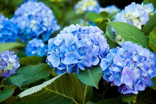 Những loại hoa đẹp rực rỡ nhưng có thể 'giết người' - ảnh 4