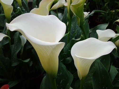 Những loại hoa đẹp rực rỡ nhưng có thể 'giết người' - ảnh 1