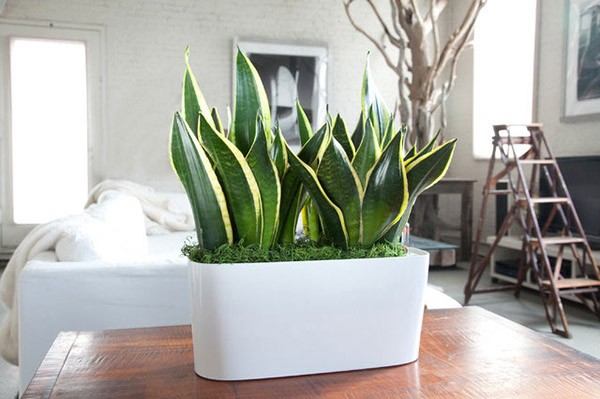 Những loại cây trồng trong nhà vừa lọc sạch không khí, vừa mang tài lộc cho chủ - ảnh 4