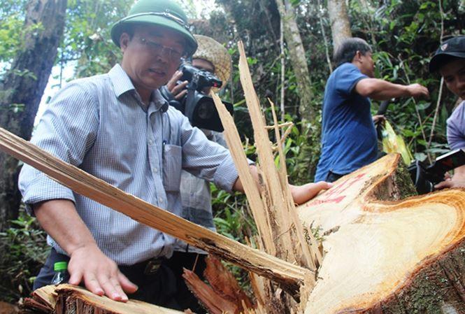 Xét xử 21 đồng phạm vụ phá rừng pơ mu ở Quảng Nam - ảnh 3