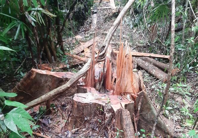 Rừng phòng hộ Sông Tranh bị tàn phá  - ảnh 2