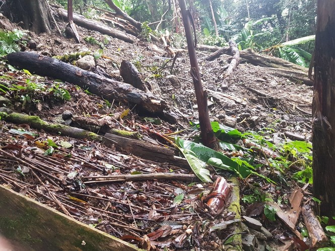 Quảng Nam: Hơn 1.000 cây sâm Ngọc Linh của người dân bị hư hại do mưa bão - ảnh 1
