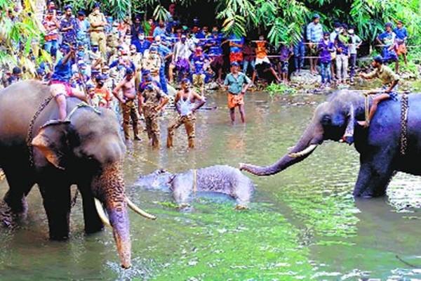 """Sau vụ việc voi mẹ chết vì ăn phải dứa nhồi pháo hoa, Ấn Độ thề có """"hành động mạnh"""" - ảnh 1"""