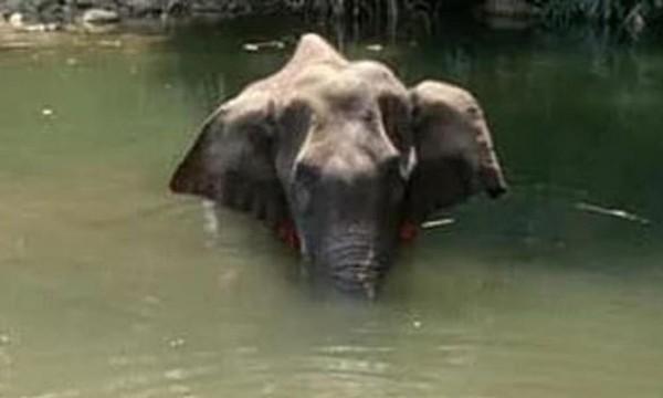 """Sau vụ việc voi mẹ chết vì ăn phải dứa nhồi pháo hoa, Ấn Độ thề có """"hành động mạnh"""" - ảnh 3"""
