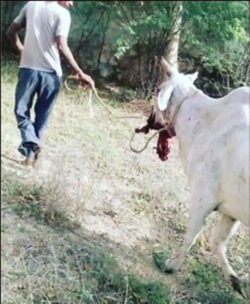 Sau vụ voi mẹ chết đứng dưới sông, netizen lại phẫn nộ vì bò mẹ bị cho ăn lúa mỳ gài pháo - ảnh 2